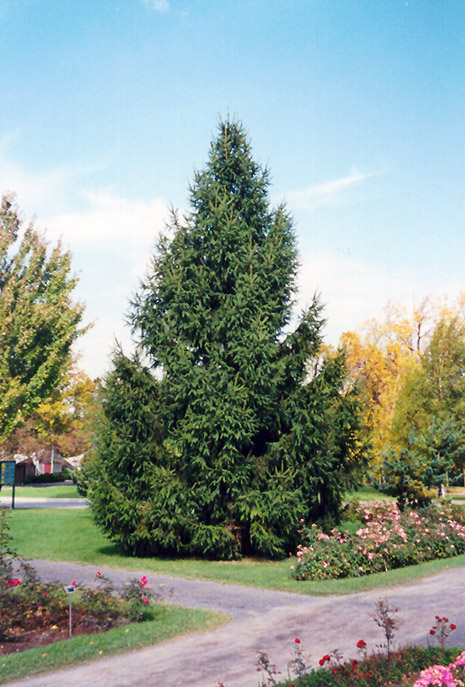 Norway Spruce Picea Abies In Fort Wayne Indiana In At