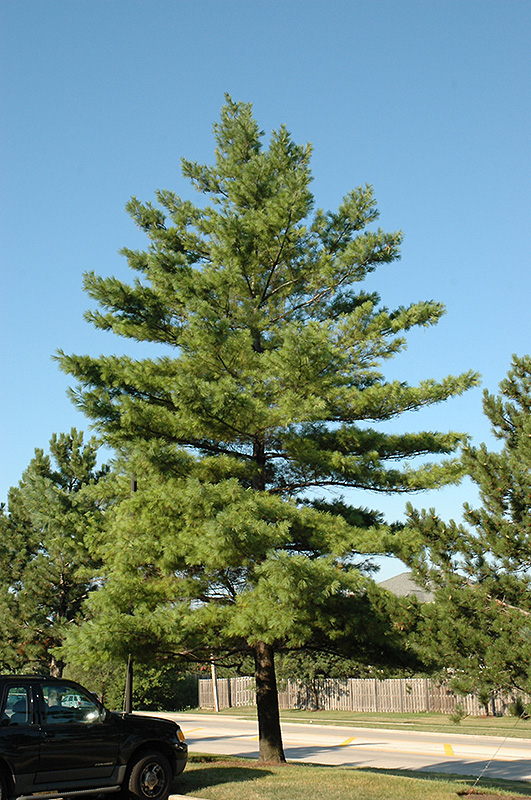 White Pine Pinus Strobus In Fort Wayne Indiana In At