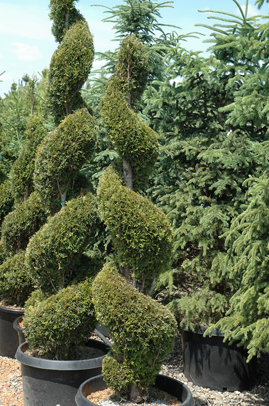 emerald green arborvitae spiral thuja occidentalis 39 smaragd spiral 39 in fort wayne indiana. Black Bedroom Furniture Sets. Home Design Ideas