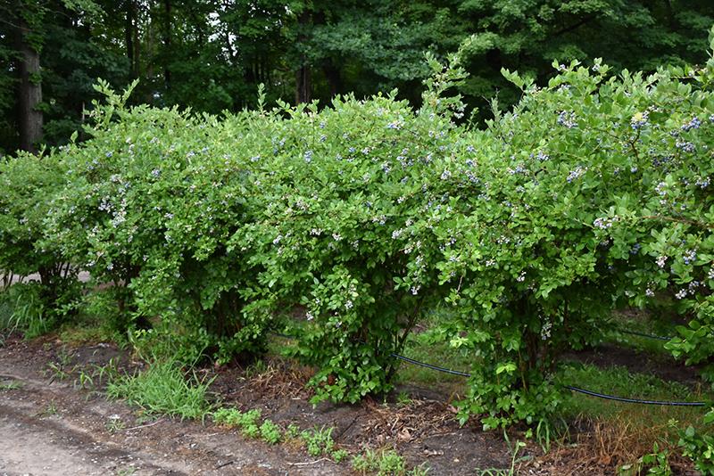 Jersey Blueberry (Vaccinium corymbosum 'Jersey') in Fort