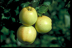 Honeygold Apple (Malus 'Honeygold') at Arbor Farms Nursery