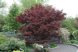 Bloodgood Japanese Maple (Acer palmatum 'Bloodgood') at Arbor Farms Nursery