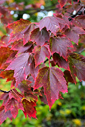 Red Sunset Red Maple (Acer rubrum 'Red Sunset') at Arbor Farms Nursery