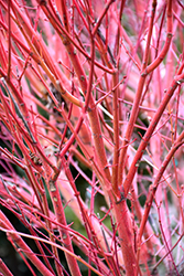 Coral Bark Japanese Maple (Acer palmatum 'Sango Kaku') at Arbor Farms Nursery