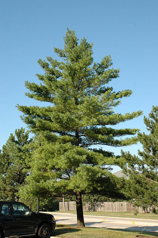White Pine Pinus Strobus In Fort Wayne Indiana In At