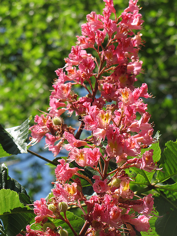 Red Horse Chestnut Aesculus X Carnea In Fort Wayne