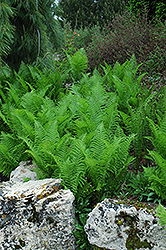 Ostrich Fern (Matteuccia struthiopteris) at Arbor Farms Nursery