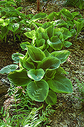 Frances Williams Hosta (Hosta 'Frances Williams') at Arbor Farms Nursery
