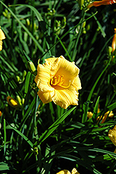 Stella de Oro Daylily (Hemerocallis 'Stella de Oro') at Arbor Farms Nursery
