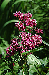 Swamp Milkweed (Asclepias incarnata) at Arbor Farms Nursery