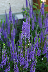 Sunny Border Blue Speedwell (Veronica 'Sunny Border Blue') at Arbor Farms Nursery
