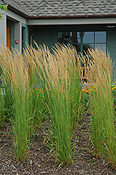 Karl Foerster Reed Grass (Calamagrostis x acutiflora 'Karl Foerster') at Arbor Farms Nursery