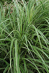 Variegated Silver Grass (Miscanthus sinensis 'Variegatus') at Arbor Farms Nursery