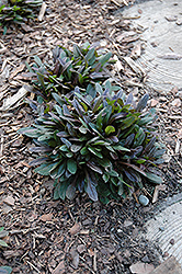 Chocolate Chip Bugleweed (Ajuga reptans 'Chocolate Chip') at Arbor Farms Nursery