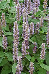 Blue Fortune Anise Hyssop (Agastache 'Blue Fortune') at Arbor Farms Nursery
