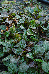 Bronze Beauty Bugleweed (Ajuga reptans 'Bronze Beauty') at Arbor Farms Nursery