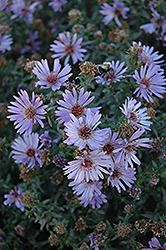 Woods Blue Aster (Aster 'Woods Blue') at Arbor Farms Nursery