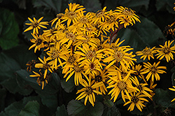 Britt Marie Crawford Rayflower (Ligularia dentata 'Britt Marie Crawford') at Arbor Farms Nursery
