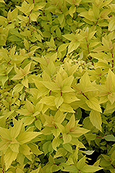 Goldmound Spirea (Spiraea japonica 'Goldmound') at Arbor Farms Nursery
