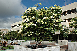 Ivory Silk Japanese Tree Lilac (Syringa reticulata 'Ivory Silk') at Arbor Farms Nursery