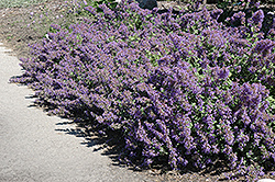 Walker's Low Catmint (Nepeta x faassenii 'Walker's Low') at Arbor Farms Nursery