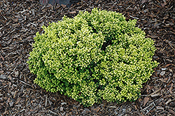Golden Nugget Japanese Barberry (Berberis thunbergii 'Golden Nugget') at Arbor Farms Nursery