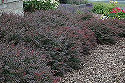 Crimson Pygmy Japanese Barberry (Berberis thunbergii 'Crimson Pygmy') at Arbor Farms Nursery