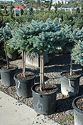 Globe Blue Spruce (tree form) (Picea pungens 'Globosa (tree form)') at Arbor Farms Nursery