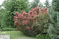 Royal Purple Smokebush (Cotinus coggygria 'Royal Purple') at Arbor Farms Nursery