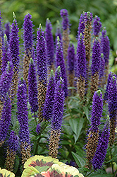 Royal Candles Speedwell (Veronica spicata 'Royal Candles') at Arbor Farms Nursery