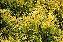 Golden Mop Falsecypress (Chamaecyparis pisifera 'Golden Mop') at Arbor Farms Nursery