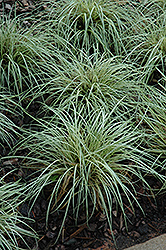 Evergold Variegated Japanese Sedge (Carex oshimensis 'Evergold') at Arbor Farms Nursery