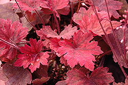 Sweet Tea Foamy Bells (Heucherella 'Sweet Tea') at Arbor Farms Nursery