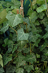 Thorndale Ivy (Hedera helix 'Thorndale') at Arbor Farms Nursery
