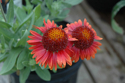 Arizona Red Shades Blanket Flower (Gaillardia x grandiflora 'Arizona Red Shades') at Arbor Farms Nursery