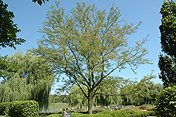Skyline Honeylocust (Gleditsia triacanthos 'Skycole') at Arbor Farms Nursery