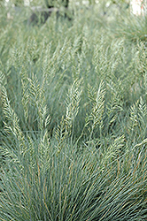 Elijah Blue Fescue (Festuca glauca 'Elijah Blue') at Arbor Farms Nursery