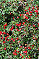 Cranberry Cotoneaster (Cotoneaster apiculatus) at Arbor Farms Nursery