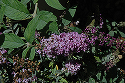 Lo And Behold® Lilac Chip Dwarf Butterfly Bush (Buddleia 'Lo And Behold Lilac Chip') at Arbor Farms Nursery