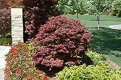 Rhode Island Red Japanese Maple (Acer palmatum 'Rhode Island Red') at Arbor Farms Nursery