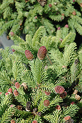 Pusch Spruce (Picea abies 'Pusch') at Arbor Farms Nursery