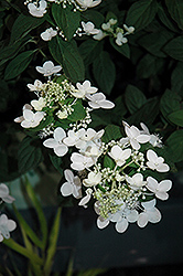 Mystical Flame Hydrangea (Hydrangea paniculata 'Bokratorch') at Arbor Farms Nursery