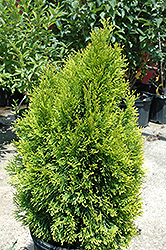 Highlights Arborvitae (Thuja occidentalis 'Janed Gold') at Arbor Farms Nursery