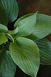 Empress Wu Hosta (Hosta 'Empress Wu') at Arbor Farms Nursery