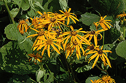 Othello Rayflower (Ligularia dentata 'Othello') at Arbor Farms Nursery