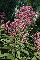 Gateway Joe Pye Weed (Eupatorium maculatum 'Gateway') at Arbor Farms Nursery