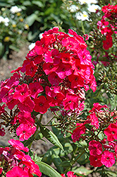 Red Flame Garden Phlox (Phlox paniculata 'Red Flame') at Arbor Farms Nursery