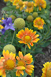 Mesa Peach Blanket Flower (Gaillardia x grandiflora 'Mesa Peach') at Arbor Farms Nursery