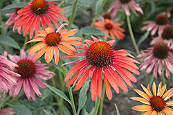 Hot Summer Coneflower (Echinacea 'Hot Summer') at Arbor Farms Nursery