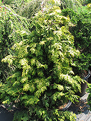 Confucius Gold Hinoki Falsecypress (Chamaecyparis obtusa 'Confucius Gold') at Arbor Farms Nursery